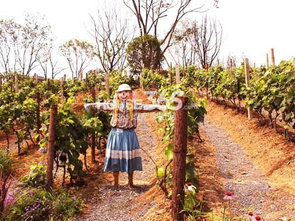景观实景-葡萄园