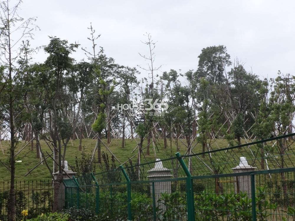 中豪天禄围挡外的绿化实景图(10.25)
