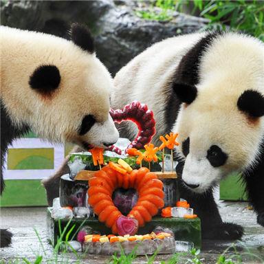 大熊猫双胞胎喜迎两周岁生日