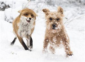 猎狗竟与狐狸成好友 雪中嬉戏打闹欢乐不已