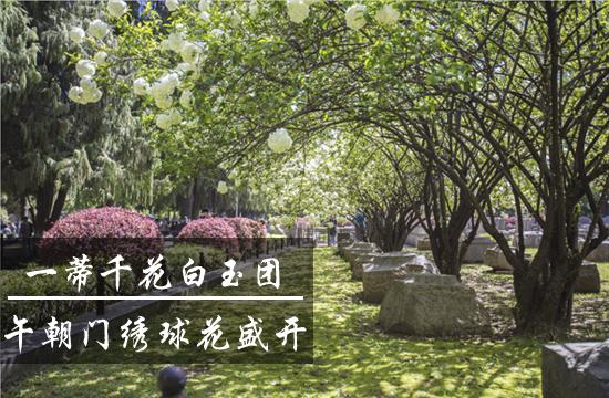 """光影石城344:""""雪球""""出没!午朝门绣球花盛开"""